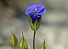 Fringed Gentian.  These are on the endangered list with a classification of Special Concern.  Door County, WI.