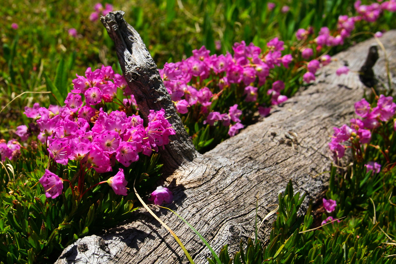Pink Flowers on a Log
