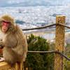 Monkey Above Kyoto, Japan II