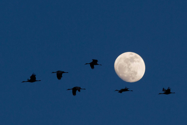 Sandhill Cranes and an almost-full moon.