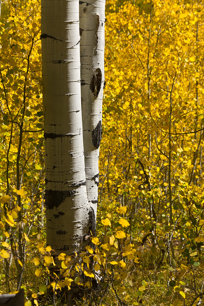 Autumn Aspen Pair