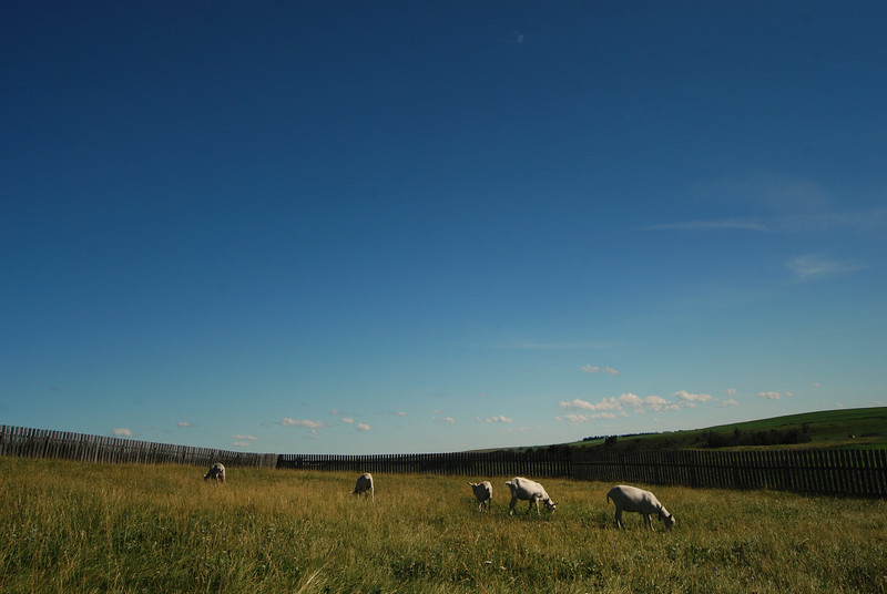 Goats on the Prairie