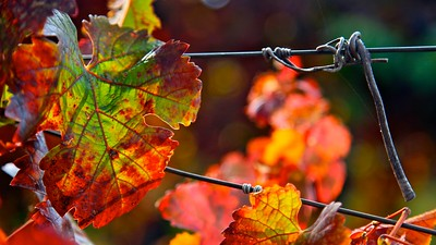 Fall Leaves - Napa Valley