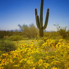Saguaro and Flowers