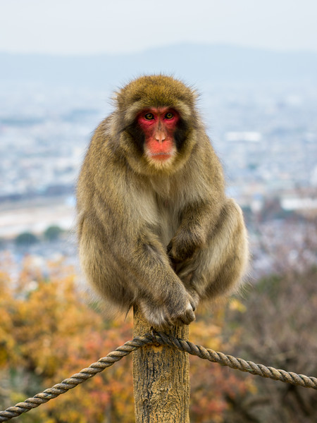Monkey Perched in Kyoto