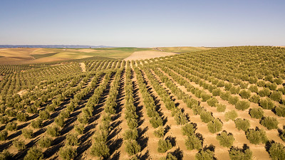 Olive Trees in Andalucia II