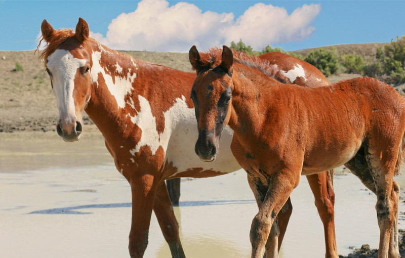 Rambo and Picasso's very young mare Fleck in 2013
