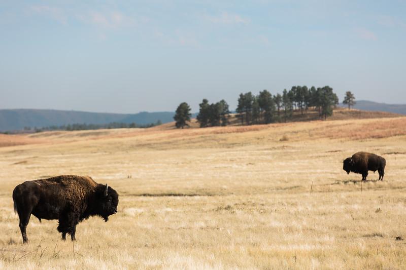 Bison, Wind Cave National Park, South Dakota