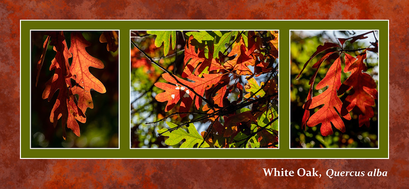 Fall foliage primer 1:  White oak leaves
