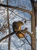 D002-2018<br /> Fox squirrel<br /> <br /> Backyard and frontyard<br /> Ann Arbor, Michigan<br /> Taken January 2, 2018