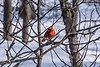 Cardinal in winter scene (filtered version)