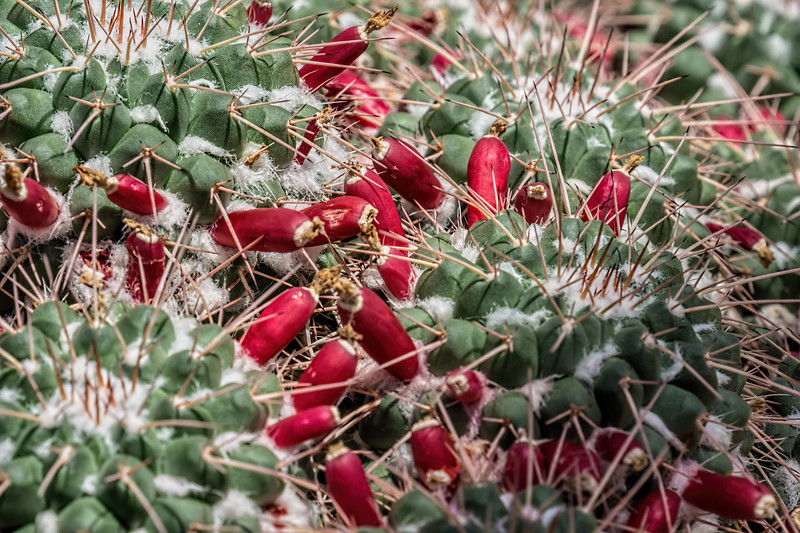 Red fruit on a mound of mammillaria cacti