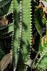 Detail, Canary Island Spurge