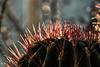 Cactus spines