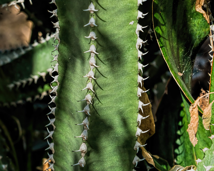 Detail, Canary Island Spurge, closer crop