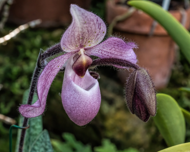 Lavender or pink Lady's Slipper orchid