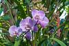 Phalaenopsis orchid (sc 2017-12-8)