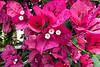 Detail of bougainvillea blooms