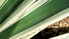 Sisal Agave leaf detail