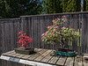 Japanese maple and crabapple bonsai in spring