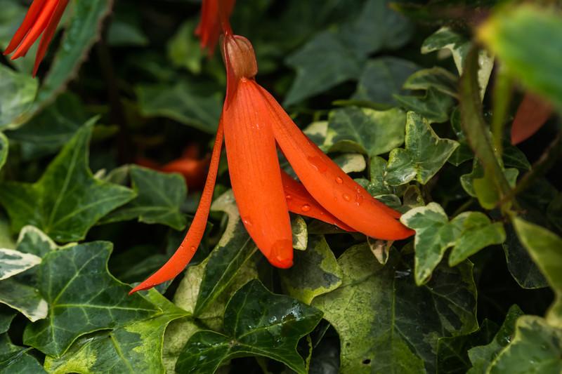 Fuchsia (?) and Boston Ivy