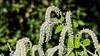 D064-2017<br /> <br /> Tetradenia riparia, Ginger Bush<br /> Family:  Lamiaceae<br /> Distribution:  Southern Africa, including Madagascar<br /> <br /> Temperate House, Matthaei Botanical Gardens, Ann Arbor<br /> Taken March 5, 2017