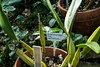 Plant ID label for Laelia anceps var veitchiana