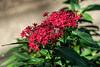 Rubiaceae:  Pentas unonwn_02 red<br /> 2017M 11<br /> <br /> Egyptian Star Cluster Flower, Pentas hybrid<br /> Family:  Rubiaceae<br /> <br /> <br /> D051-2017 <br /> <br /> Conservatory, Matthaei Botanical Gardens, Ann Arbor<br /> Taken February 20, 2017