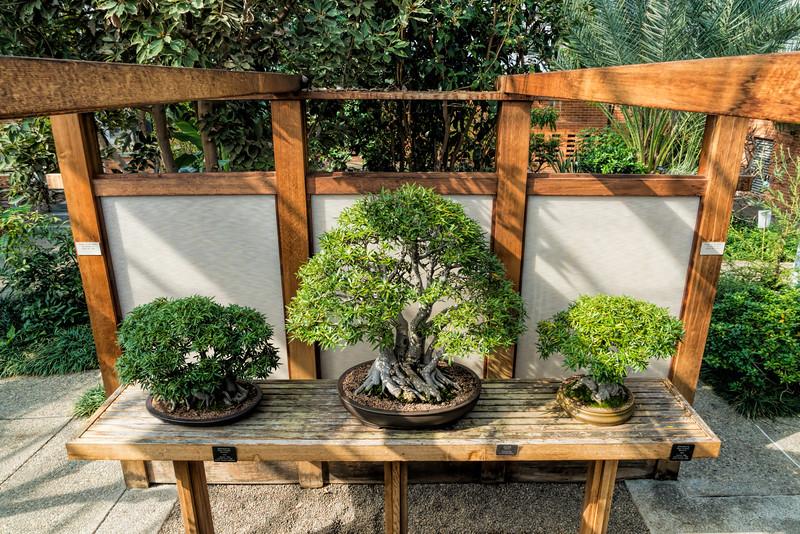 Three fig tree bonsais