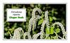 Plant ID Label for Tetradenia riparia