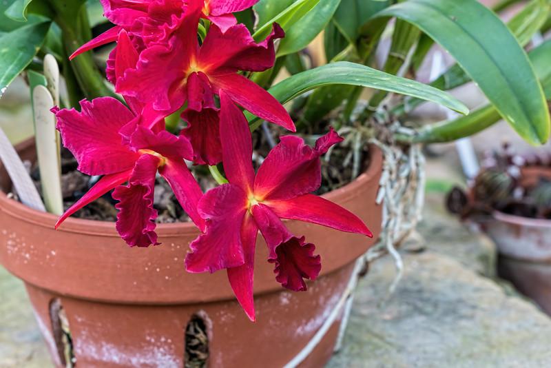 Cattlianthe 'Jewel Box'