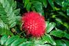 Powderpuff Tree blooms