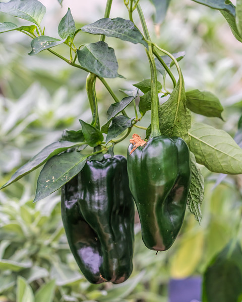 Conservatory hot peppers