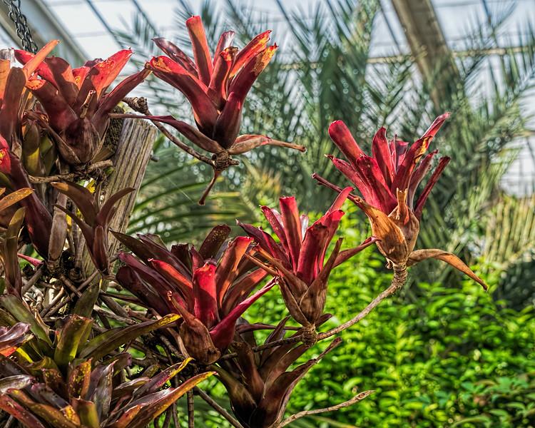 Neoregelia 'Fireball' bromeliad