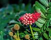 Featured:  Powderpuff Tree blooms unwinding