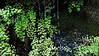 Evergreen - small ferns
