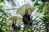 White Batflower