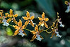 Oncidium Illustre 'Matthaei'