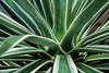Sisal agave, detail