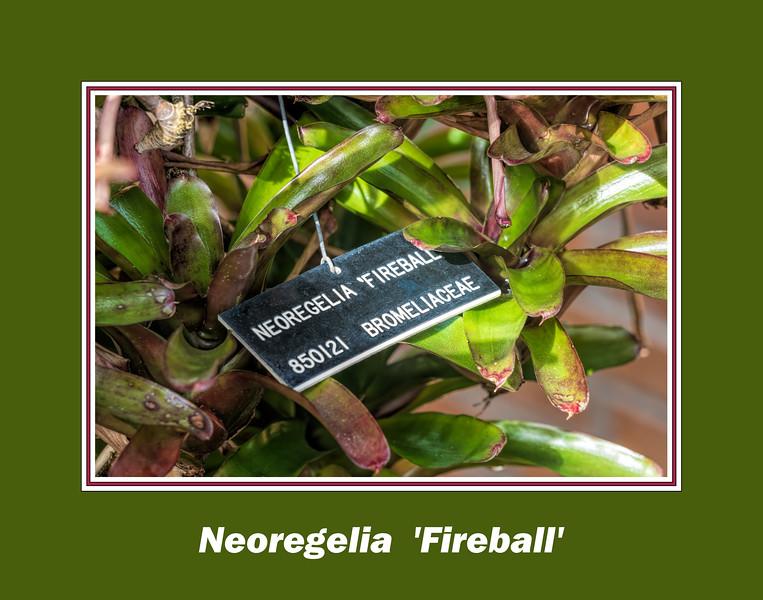 Plant ID label for Neoregelia 'Fireball'