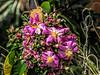 Rose Cactus, Pereskia grandifolia