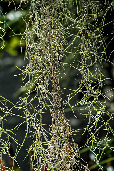 Spanish moss, an epiphytic species in the bromeliad family