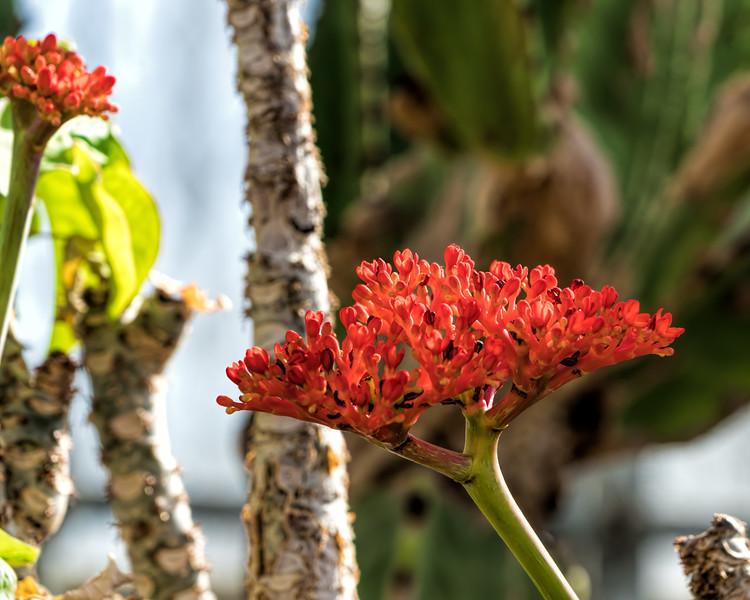 D051-2017  Australian Bottle Plant<br /> Jatropha podagrica, Euphorbia #09<br /> Euphorbiaceae<br /> <br /> Conservatory, Matthaei Botanical Gardens, Ann Arbor<br /> Taken February 20, 2017