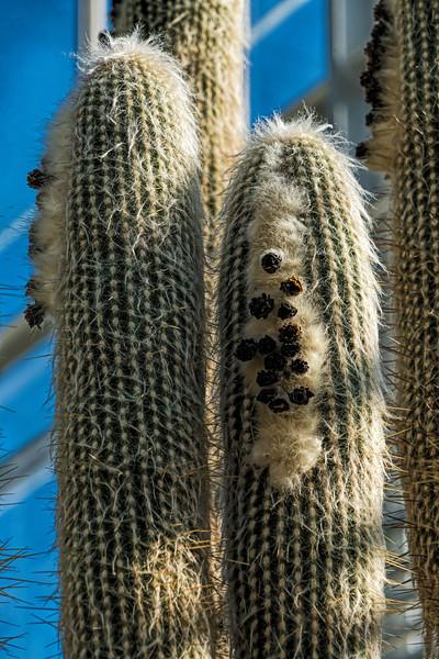 Cotton Ball Cactus, Espostoa lanata