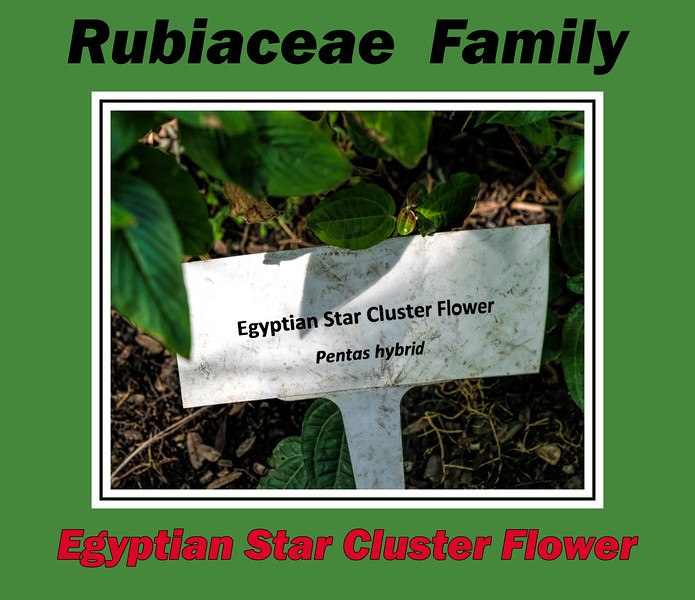 Plant ID label for Egyptian Star Cluster Flower