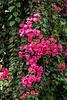 Large bougainvillea vine in riotous bloom