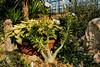 Blooming Pachypodium saundersii