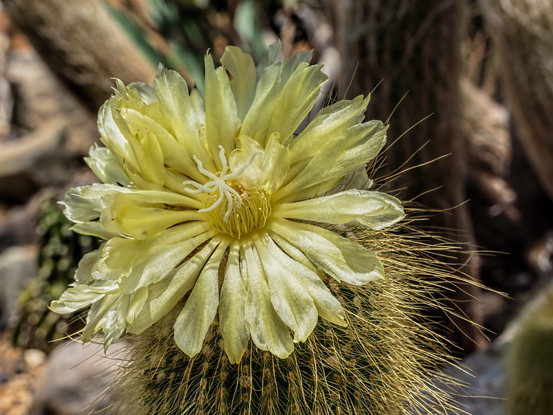 Pale yellow cactus bloom