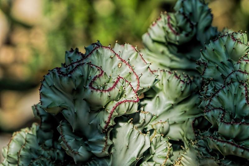 Euphorbia lactea cristata 'variegata'