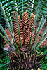 Shapes and patterns - dioon cones and fronds